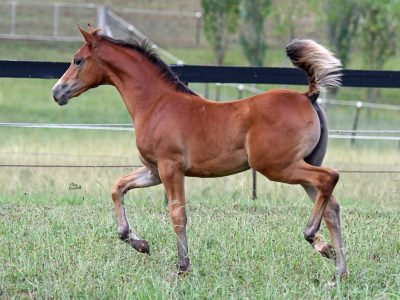 NM Delilah - 4 months Arabian x Shagya filly, photo by Sue Crockett